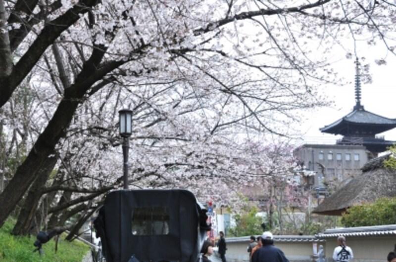 東山のシンボル「八坂塔」と桜