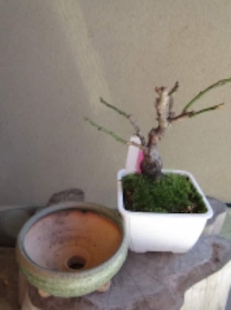 盆栽づくり