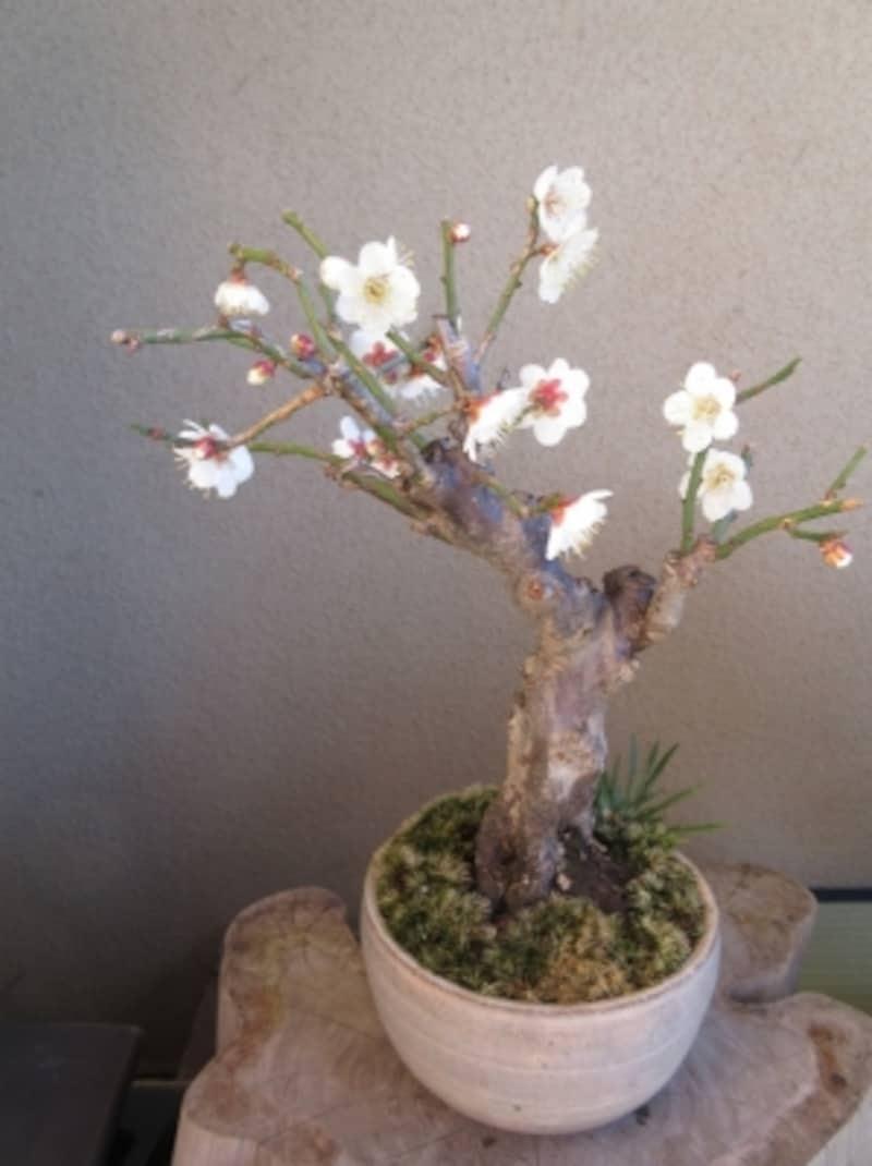冬至梅と花セキショウの盆栽