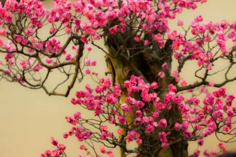 梅の盆栽の育て方・花が終わった後の剪定・植え替えの基本