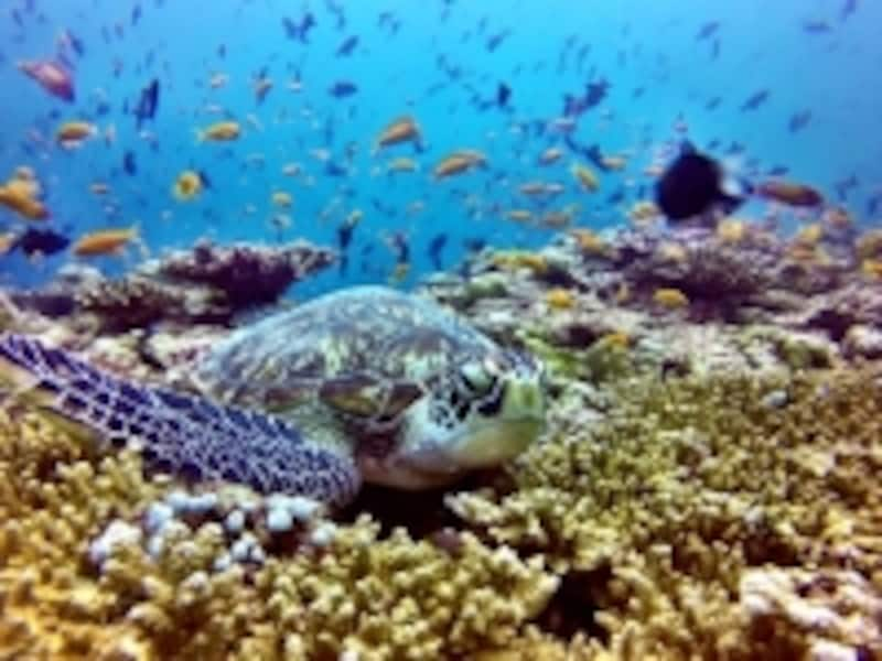バア環礁の海の中はこの美しさ!写真提供:アミラフシダイビングセンター