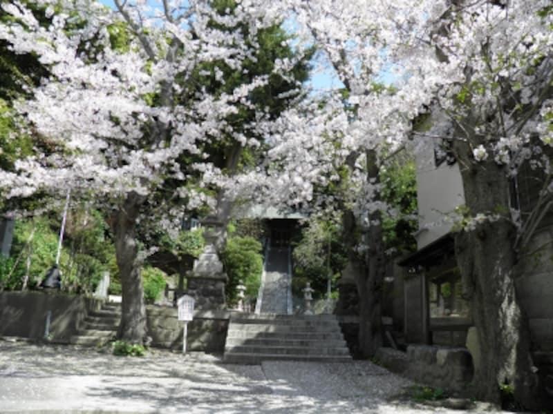 ソメイヨシノ咲く甘縄神明神社