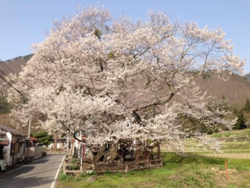 山妻有の桜
