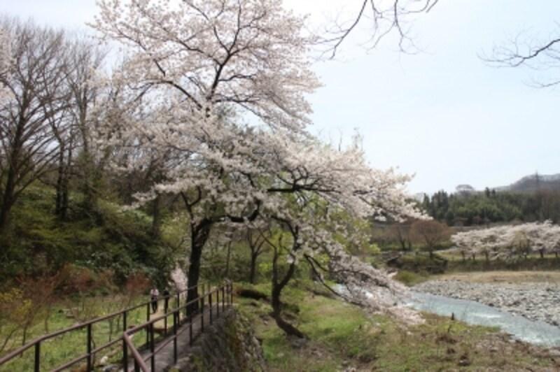 諏訪峡の桜並木