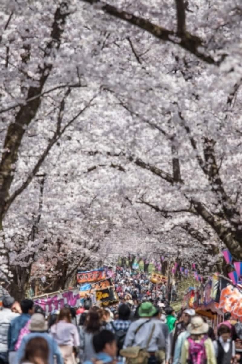 赤城の桜並木道