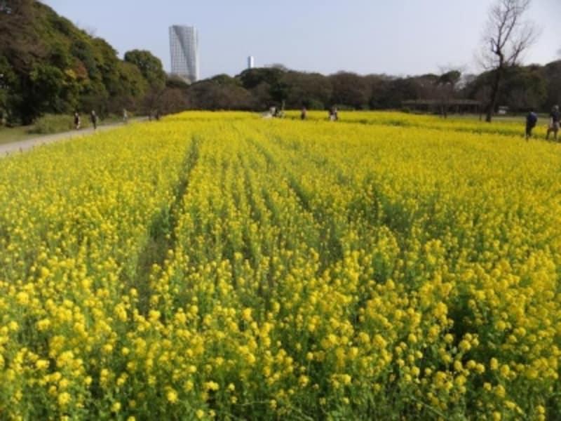 浜離宮恩賜庭園の菜の花畑(1)