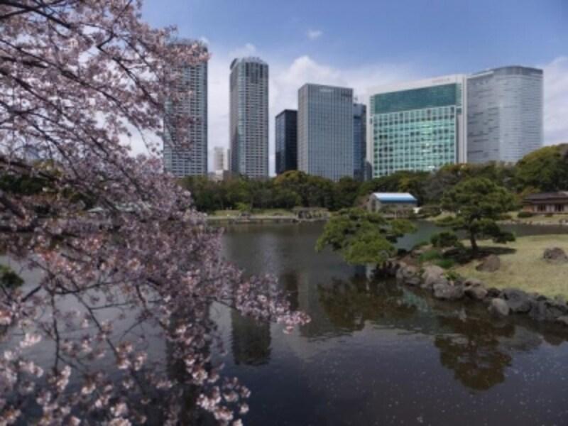 浜離宮恩賜庭園の桜(1)