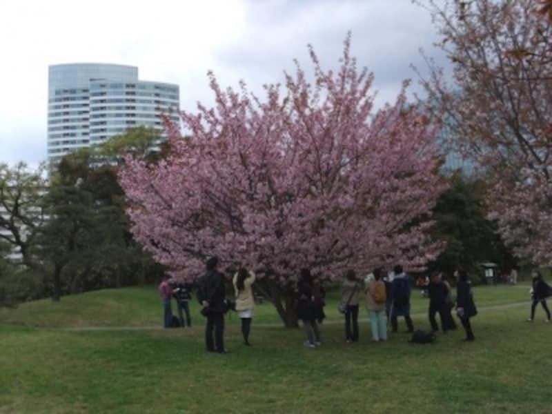 浜離宮恩賜庭園の桜(4)