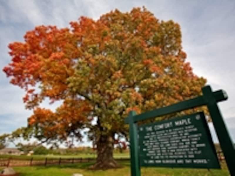 カナダ最古のメープルの木undefined写真提供:オンタリオ州観光局
