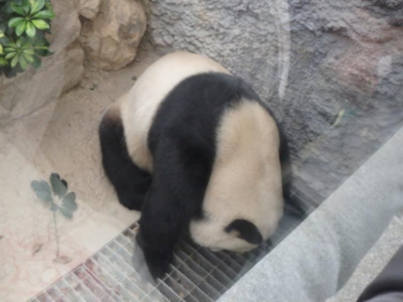 「手を伸ばせば届きそうなところまでやってくるパンダ」