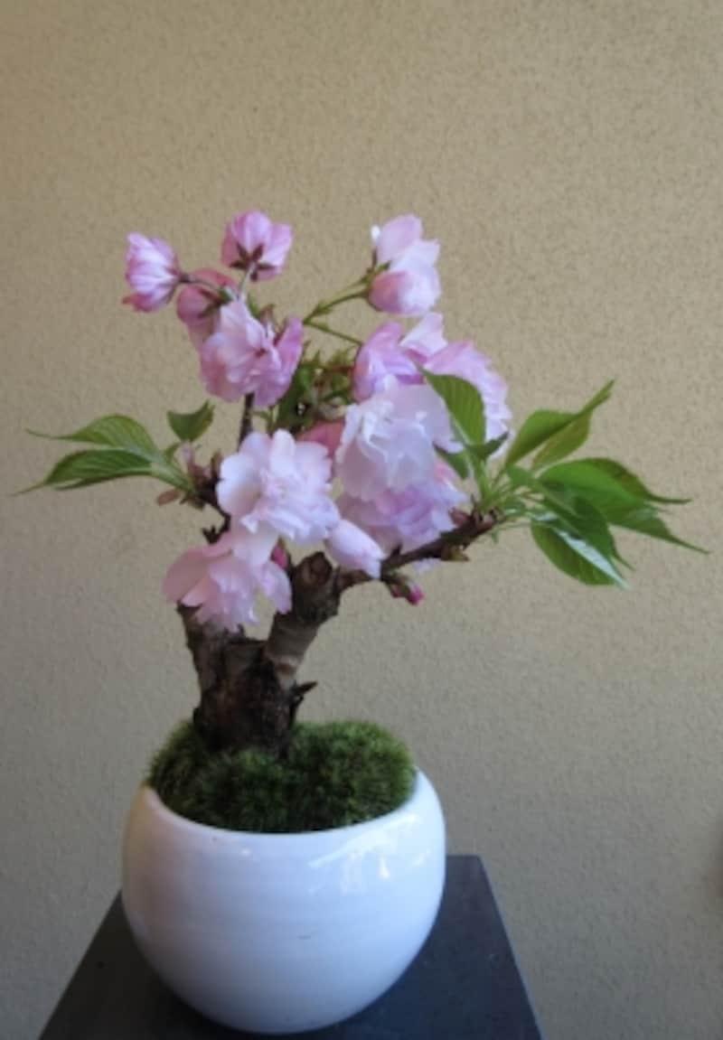桜のミニ盆栽