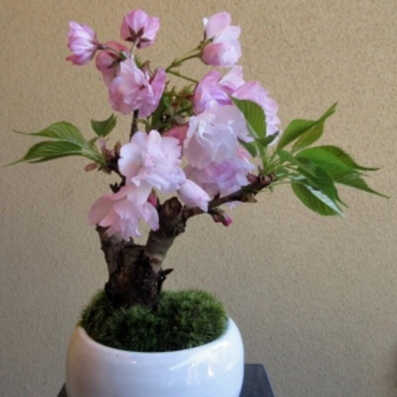 花物の盆栽の代表格