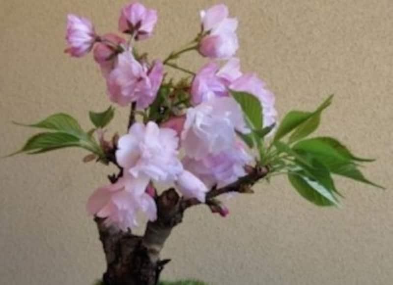 桜の盆栽の作り方
