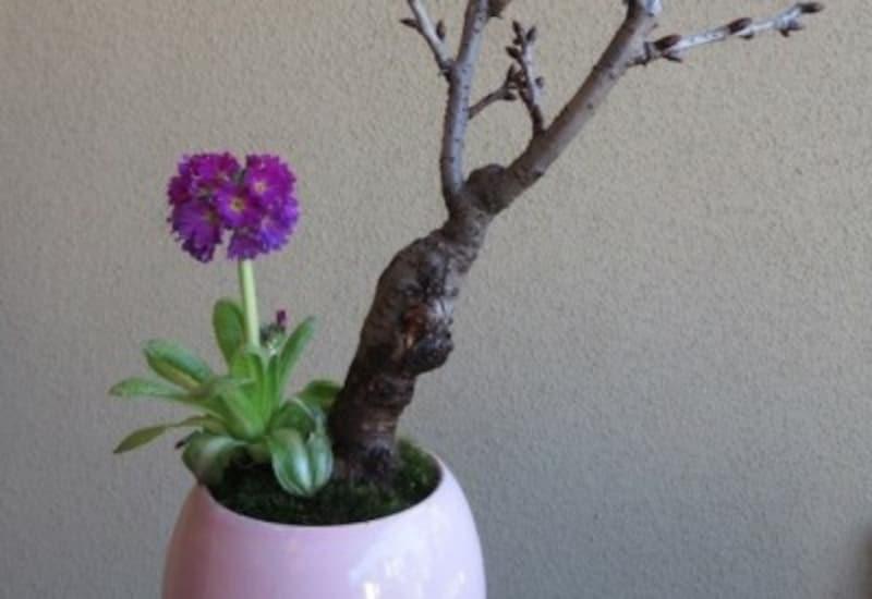 旭山桜と玉咲き桜草の盆栽