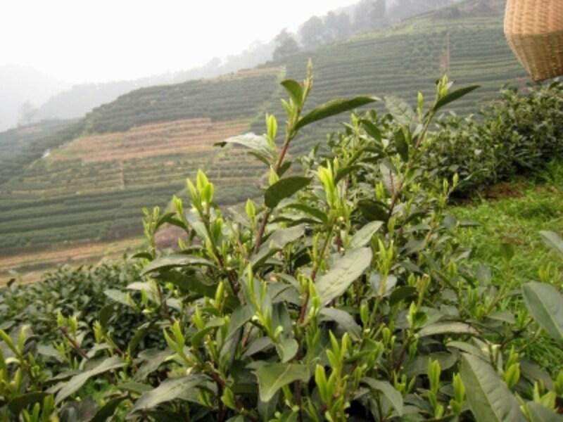 梅家塢の茶畑
