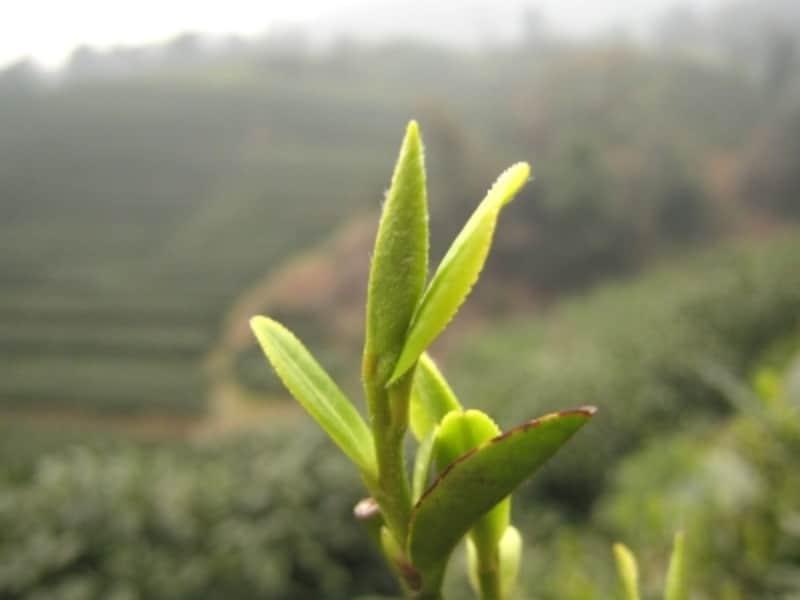 西湖龍井の新芽