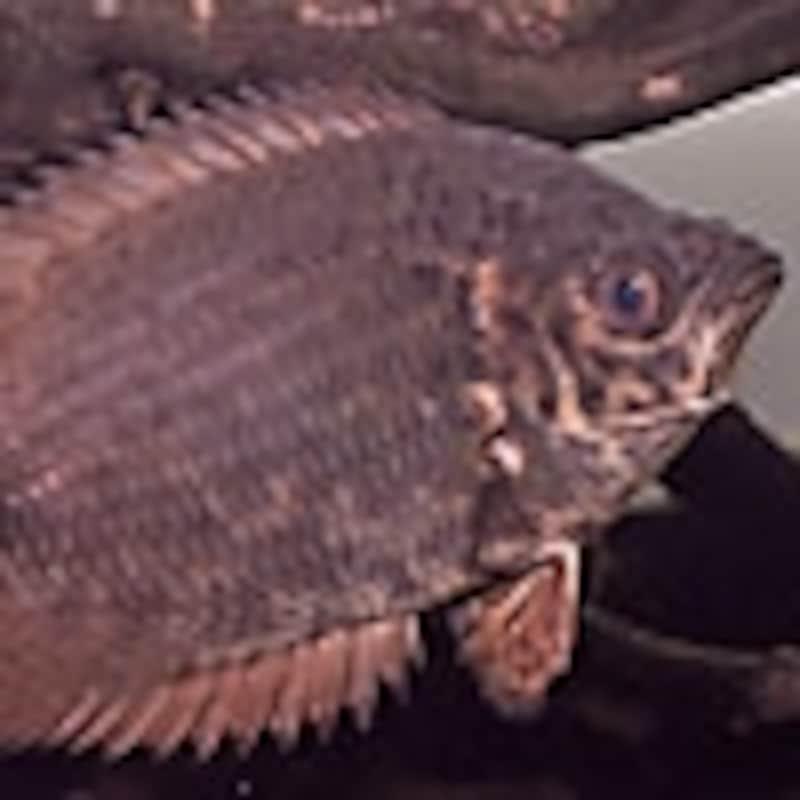 レオパードクテノポマ