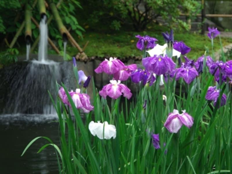 放生池に咲くハナショウブ