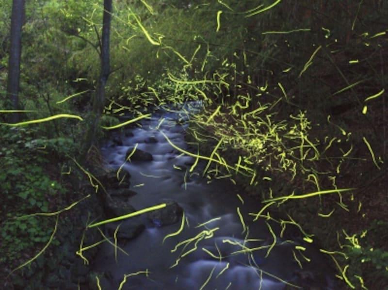 川の上を飛び回っている蛍