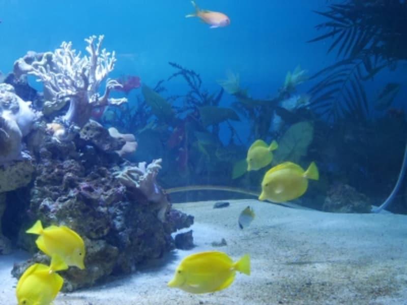 「レタスを食べる草食系の魚だ」と説明したのは、アクアミュージアムのウェルカム水槽「キイロハギ」の前(2016年6月19日撮影)