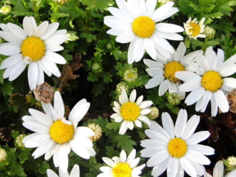 マーガレットなどの中央部にたくさん集っている小さい虫、それがヒメマルカツオブシムシであることが多いのです