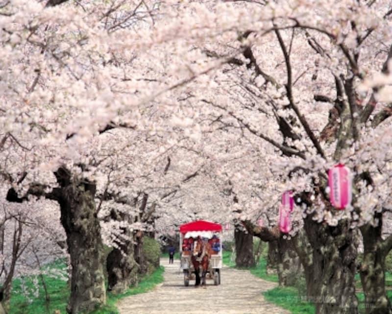 桜の名所・北上展勝地