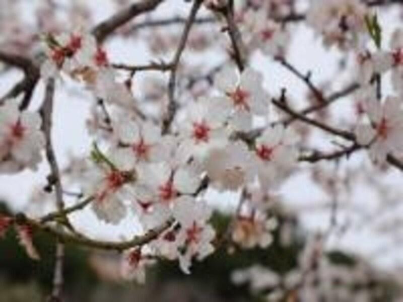 一足早く春を告げるアーモンドの花は2月下旬が満開。