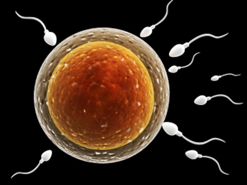 【妊娠2週目】卵子の排卵が起き、精子と受精して受精卵に