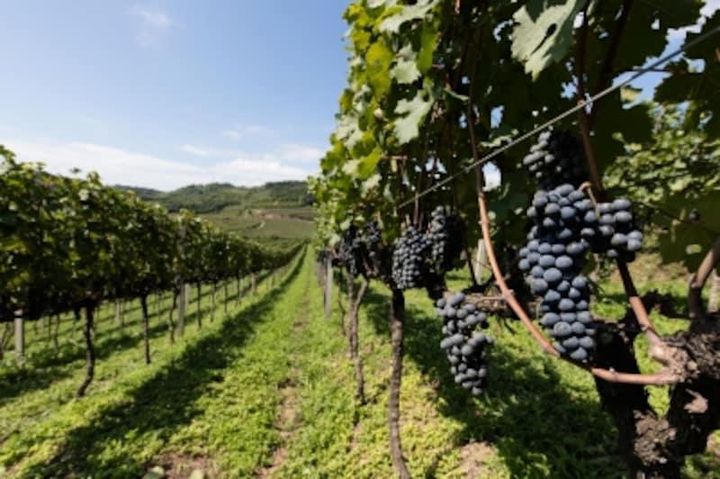 ブドウの収穫は毎年2~3月