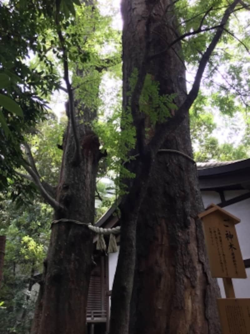 境内のご神木。樹齢約600年の欅の木。