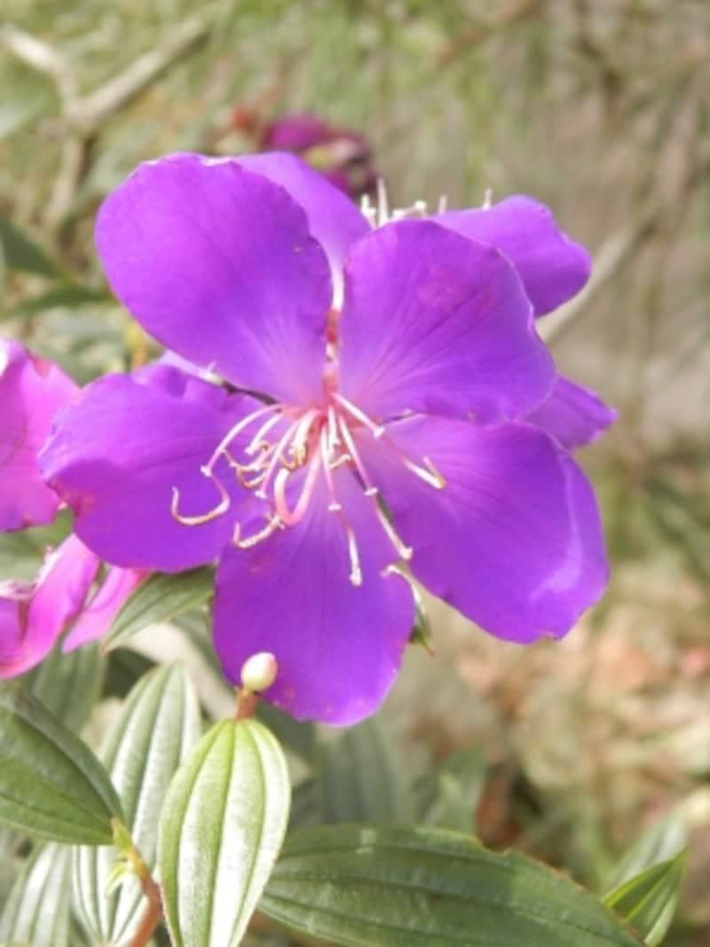 ノボタンの花