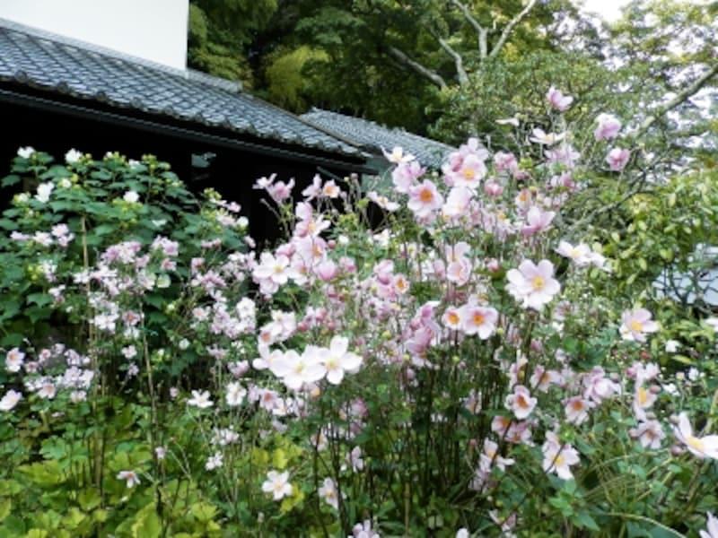 宝蔵前に咲くシュウメイギク