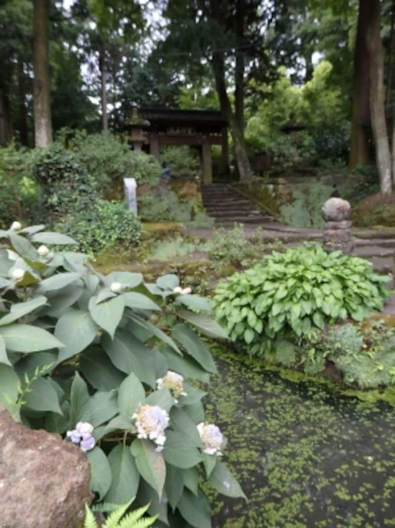 甘露ノ井の脇に咲くタマアジサイ