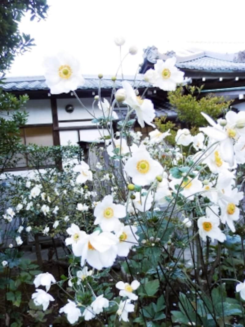 長寿寺の白いシュウメイギク