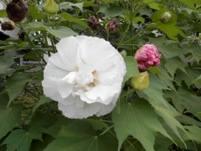 白い花が次第に赤くなるスイフヨウ