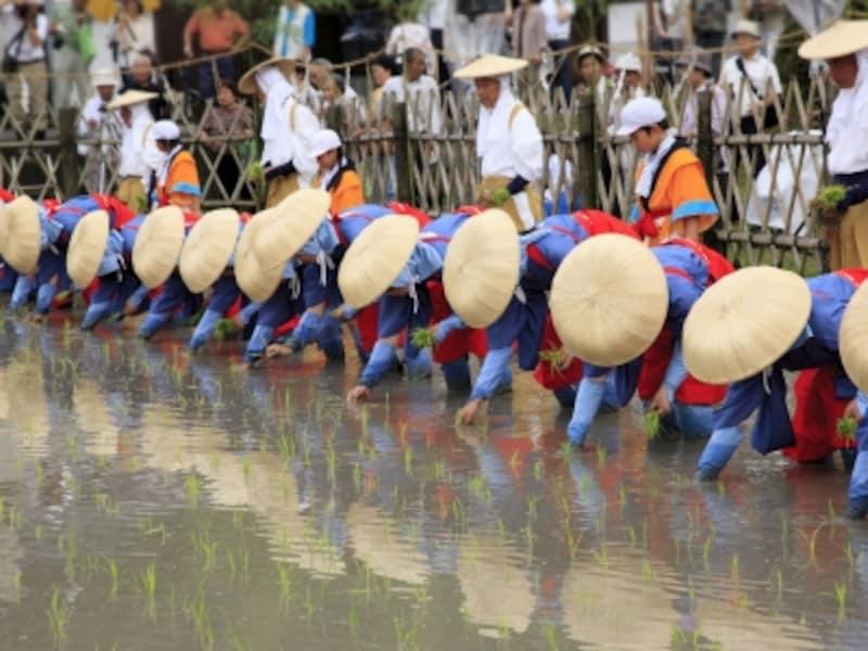 御田植祭には田植えを演じるパターンと、実際に田植えをするパターンがあります