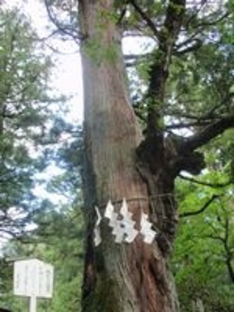 縁結びの御神木。杉に楢(なら)が重なって生えている。「すぎなら(すきなら)いっしょに」ということから、縁結びの御神木とされている