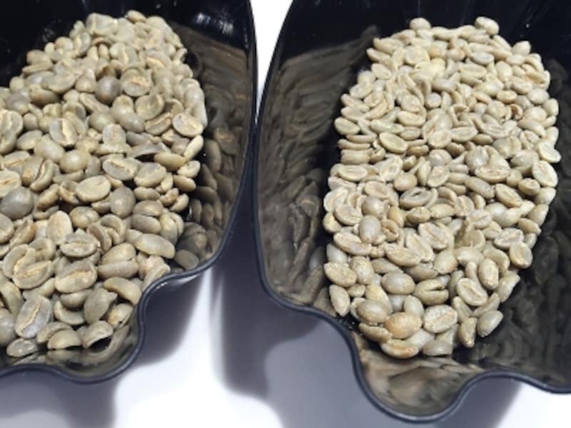 生豆の比較。左:ブルーマウンテンundefined右:ブルボンポワントゥ(縦に長く小さいが、密度が高いため堅い)