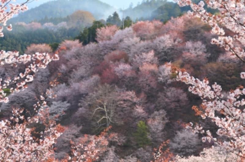 吉野の山を覆うように咲くシロヤマザクラ