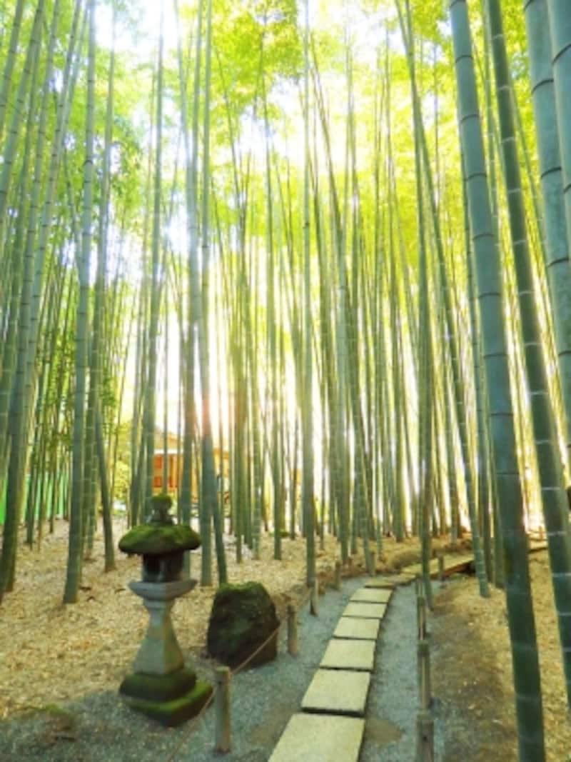 「竹寺」報国寺の竹林