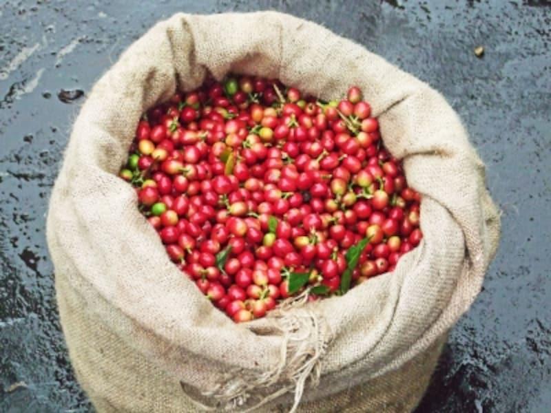 赤い豆の皮を剥いて焙煎することで、コーヒーに生まれ変わる