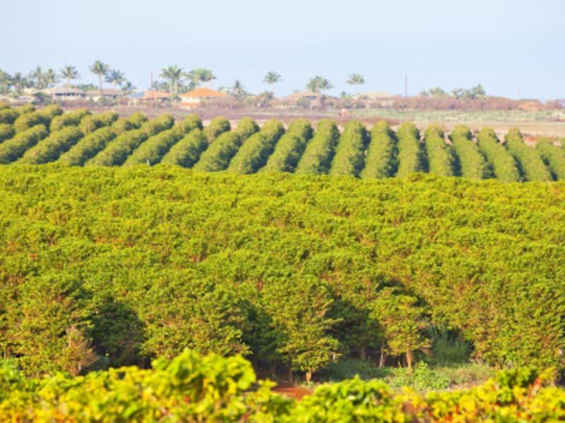 マウイ島カアナパリのコーヒー畑(写真協力:HawaiiTourismAuthority(HTA)/DanaEdmunds)