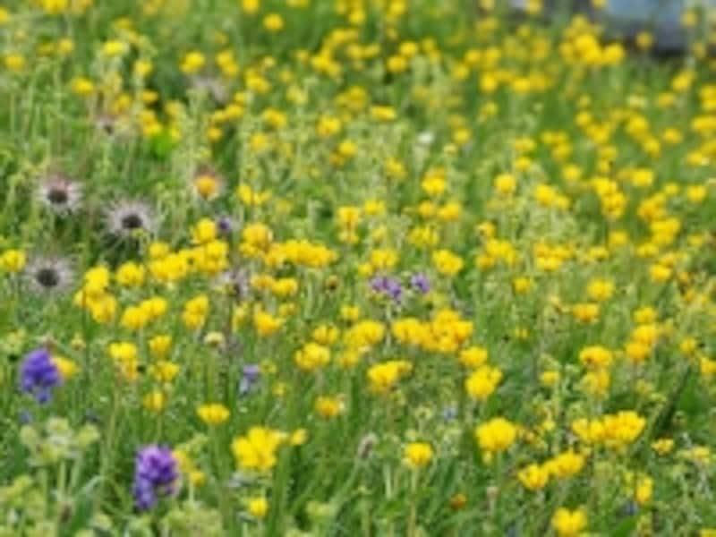 ステップの花々