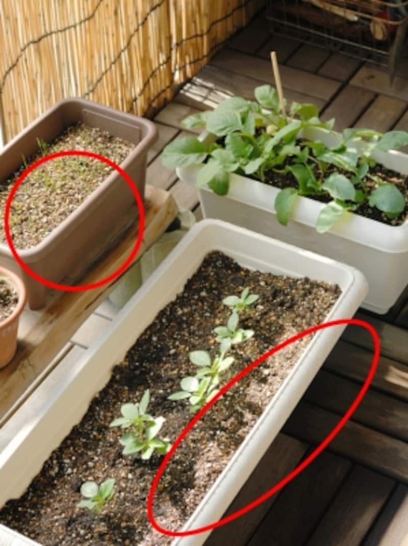 ベランダで行う家庭菜園のプランター下にもゴキブリが