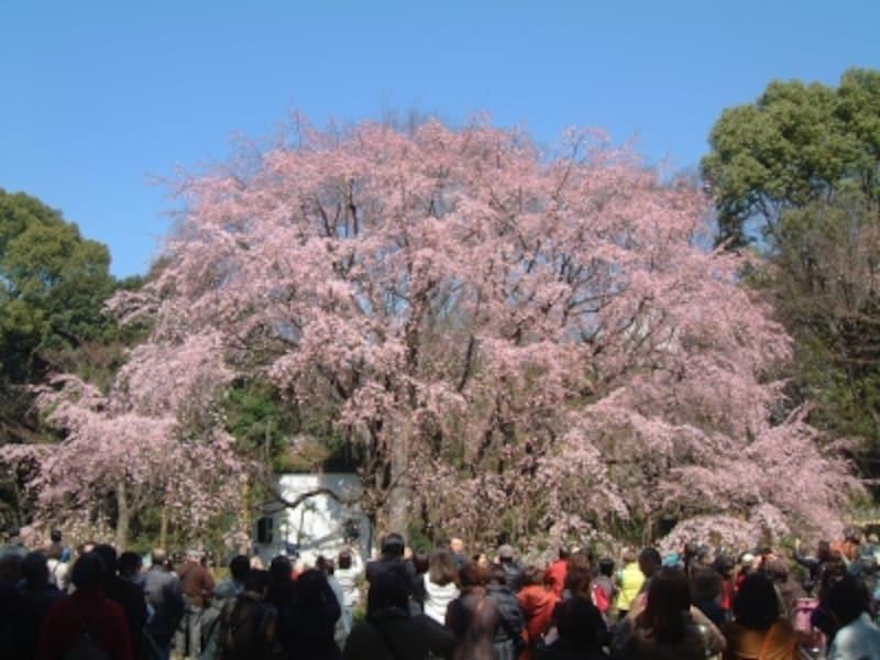 六義園のしだれ桜(1)/2010年・七分咲き
