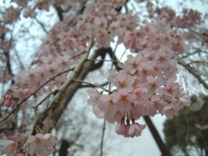 六義園のしだれ桜(2)/2006年・七分咲き