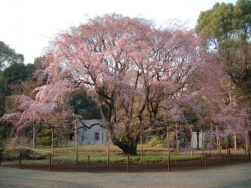 六義園のしだれ桜(3)/2011年・二分咲き