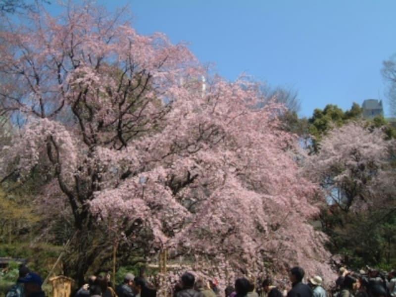六義園のしだれ桜(4)/2010年・七分咲き