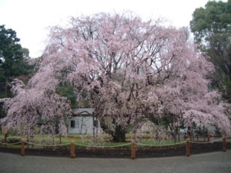 六義園のしだれ桜(5)/2009年・見頃(満開直前)