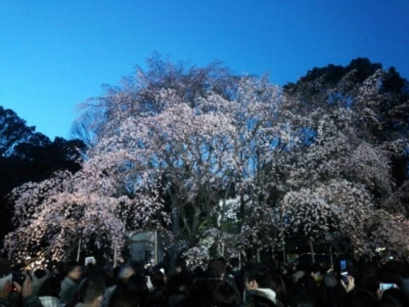 六義園のしだれ桜(6)/2016年・ライトアップ・見頃(満開直前))
